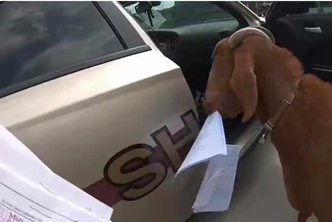 Goat Invades Police Car, Chews Paperwork And Headbutts Officer in Georgia