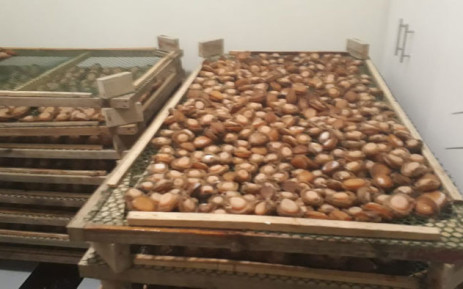 Hawks discover abalone drying facility worth R1.6 million