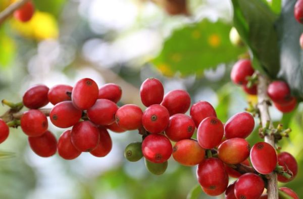 What is Coffee fruit? It's health benefits, side effects and ways to use