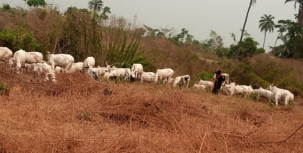 BREAKING: Amotekun flushes several herders, 5,000 cows out of Ondo forest reserves